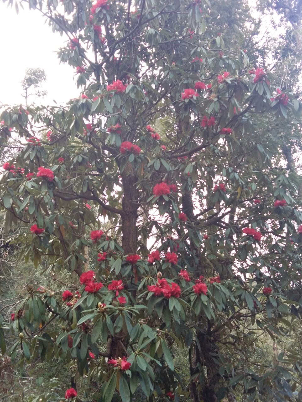 सरना-गुनियालेख के जंगल में खिले बुरांश के फूल
