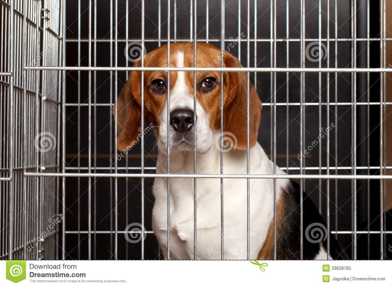 हल्द्वानी। कुत्ते को वफादार जानवर माना जाता है। आम तौर पर हम कुत्ता पालते हैं तो वह हमारे घर का सदस्य बन जाता है। अब अगर आपका छोटा नौकरीपेशा परिवार है और सारे परिवार को एक साथ ट्रेन में बैठकर कहीं जाना हो तो यह बड़ी समस्या हो जाती है कि आखिर उस कुत्ते को किसके भरोसे छोड़कर जाएं या फिर उसे कैसे साथ ले जाएं। ऐसी ही समस्या से जालंधर की श्रीमती लक्ष्मी सिंह को भी गुजरना पड़ा। लक्ष्मी सिंह बनारस की रहने वाली हैं। उनका ससुराल पटना में है। पति जालंधर में नौकरी पर थे। इकलौता बेटा दिल्ली में बी.टेक कर रहा है। जालंधर में इस परिवार ने ब्रूनो नामक गोल्डन रिटीवर नस्ल का एक कुत्ता पाला हुआ था। इसी बीच इस परिवार के मुखिया का तबादला जालंधर से रायपुर (छत्तीसगढ़) हो गया। अभी छत्तीसगढ़ में जमने में भी समय लगना था। अब दिक्कत यह थी कि कुत्ते का क्या करें। लक्ष्मी सिंह को ब्रूनो से अगाध स्नेह था। ऐसी सलाह भी सामने आई कि कुत्ते को यहीं छोड़ दो। लेकिन लक्ष्मी सिंह ने साफ कह दिया कि वह अपने ब्रूनो को छोड़कर नहीं जाएंगी, भले ही उन्हें जालंधर में अकेला क्यों न रहना पडे़। अंत में फैसला लिया गया कि ब्रूनो को भी साथ ले जाया जाएगा और वह अपने मायके बनारस उसे लेकर जाएंगी। यह तो थी लक्ष्मी सिंह के ब्रनो के प्रति स्नेह की कहानी, पर हम यहां इस कहानी को लिखने का हमारा मकसद यह है कि अगर आपको भी कभी ऐसी स्थिति से गुजरना पड़े तो आपको अपने पालतू कुत्ते को रेल में ले जाने के लिए किन-किन स्थितियों से गुजरना पड़ेगा। अब शुरू होती है ब्रनो की जालंधर से बनारस तक की यात्रा। यात्रा की शुरुआती तैयारी में इस परिवार को पता चला कि जिस प्रकार से मनुष्यों को सफर करने के लिए रिजर्वेशन जरूरी है, उसी तरह कुत्ते को भी ले जाने के लिए कुछ खास प्रक्रिया है। बुकिंग बाबू ने बताया कि अगर कुत्ते को साथ ले जाना है तो रेलगाडी के समय से दो घंटे पहले आना होगा। इसके अलावा कुत्ते का मेडिकल सर्टिफिकेट और उसको यात्रा में साथ ले जाने वाले का आधार कार्ड चाहिए। यह जरूरी नहीं कि हर ट्रेन में कुत्ता ले जाने की व्यवस्था हो ही। कुछ खास ट्रेनों में ही यह व्यवस्था होती है, लिहाजा रिजर्वेशन भी उन्हीं ट्रेनों में मिलेगा। इसके अलावा अगर पीछे से पहले ही उस ट्रेन में कोई और कुत्ता आ रहा है तो इस स्टेशन से आपका कुत्ता नहीं चढ़ाया जाएगा, क्योंकि एक ट्रेन