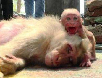 died monkey