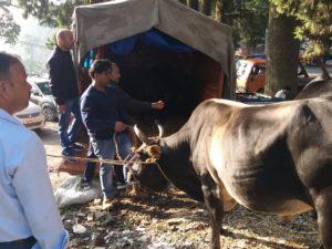 आवारा पशुओं को गौ सदन भेजने में जुटी टीम