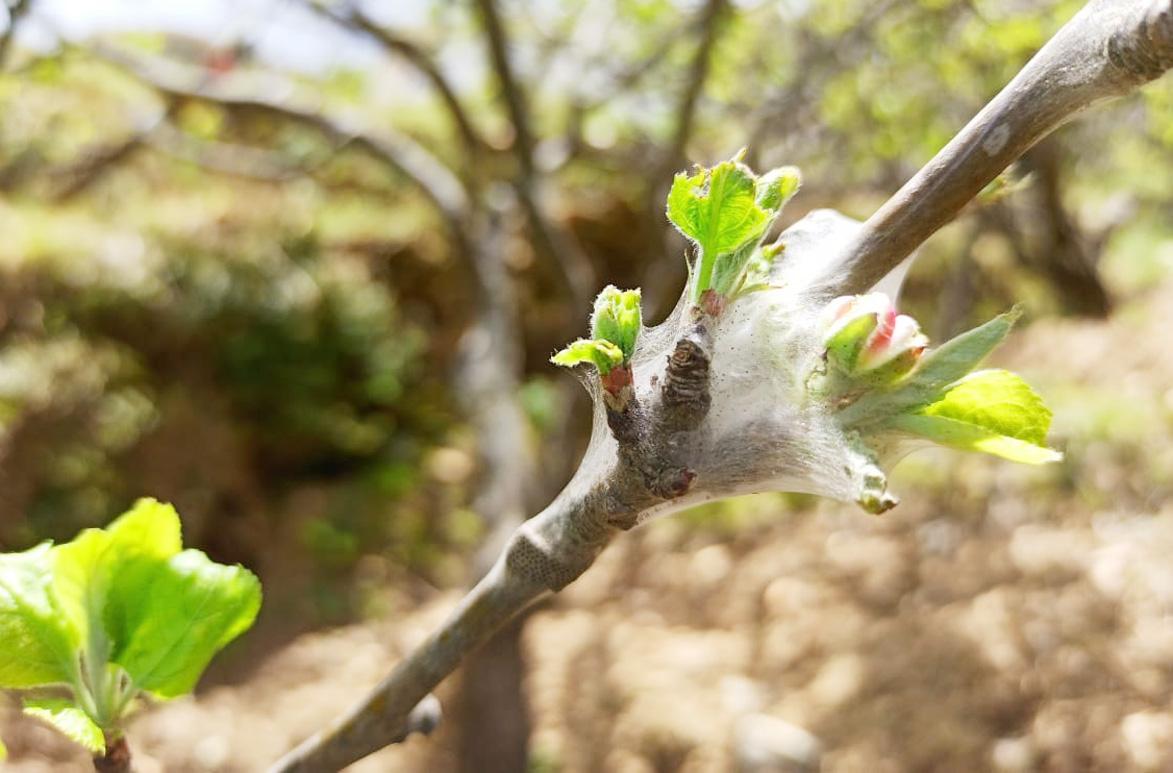 सेब के पेड़ में बना जाला